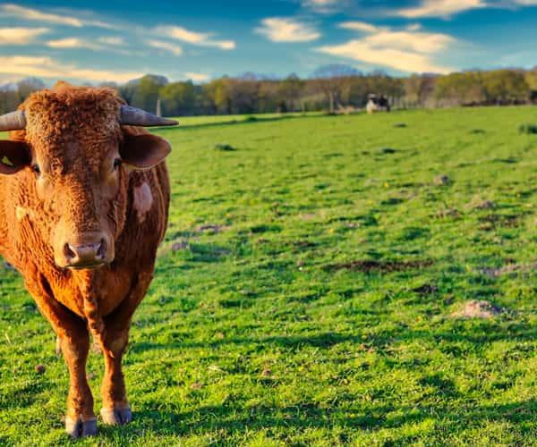A cow in a Norfolk field