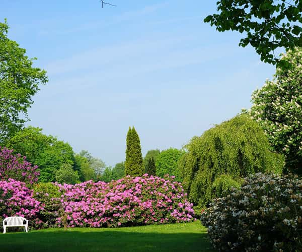The rhododendrons at Sheringham Park