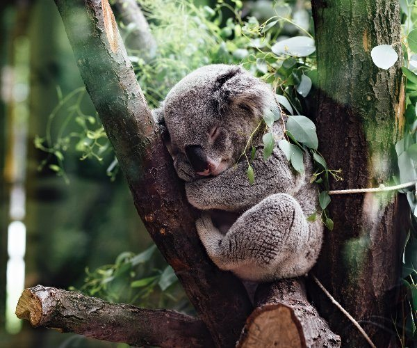 5 places to find koalas in NSW